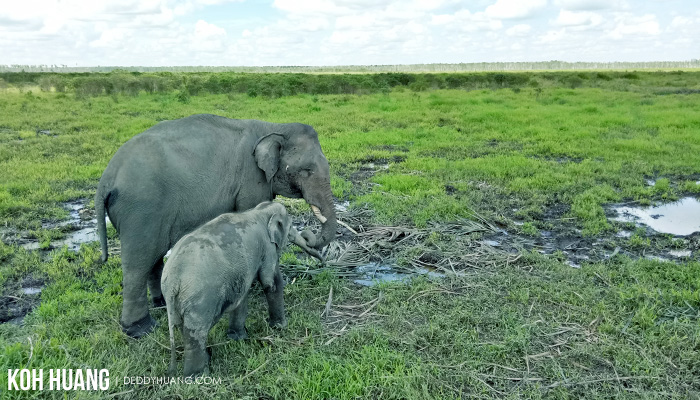 harmonisasi habitat gajah padang sugihan