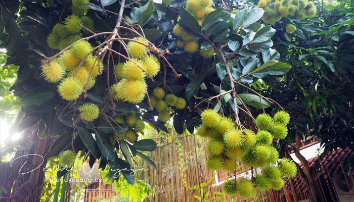 pohon rambutan - Antara Solo dan Yogjakarta Kita Jatuh Cinta #JadiBisa