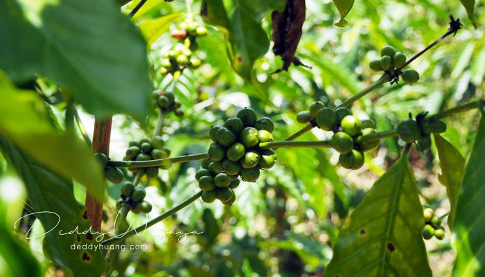 biji kopi robusta - Secangkir Semangat Kopi Kapal Api Jelas Lebih Enak