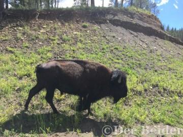 Bison Friend