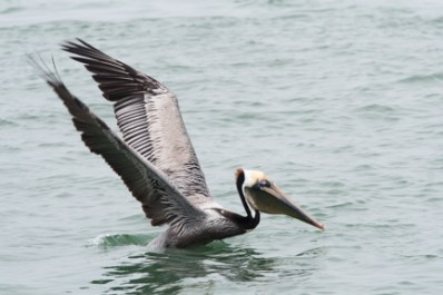 Brown Pelican powers out of the water