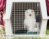 A snowy owl sits in its transport carrier before it is released back into the wild.
