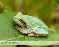An Eastern Gray or Cope's Gray tree frog.