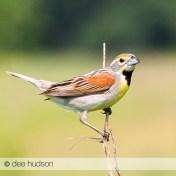 Dickcissel, a grassland bird