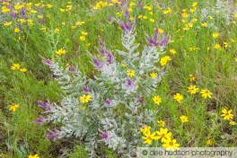Leadplant and Prairie Coreopsis blooming together.