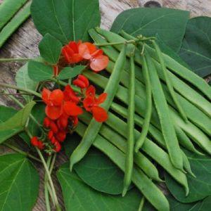 Beans - Runner Beans 'Scarlet Emperor'