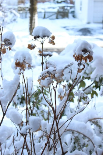 hydrangea-snow