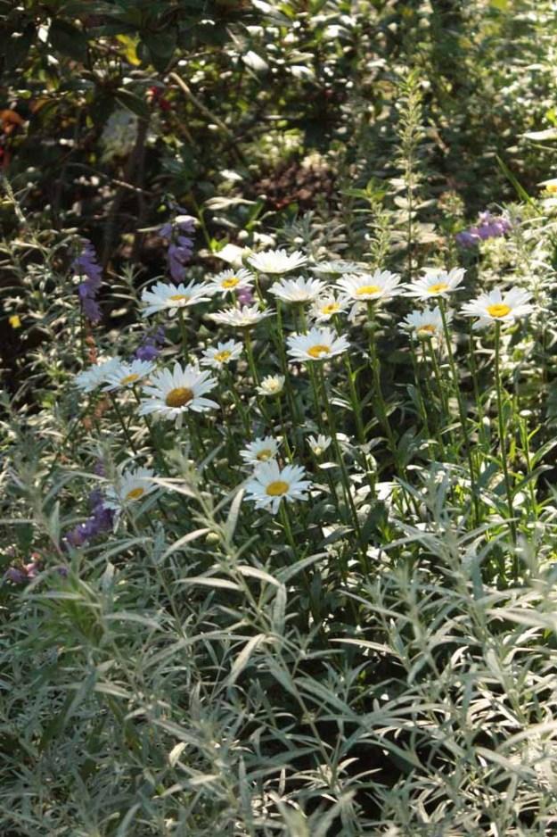 daisies-deemallon