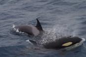 Killer_Whale_120215_Bremer