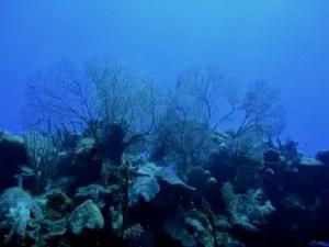 Massif de corail dans les caraïbes - Mexique