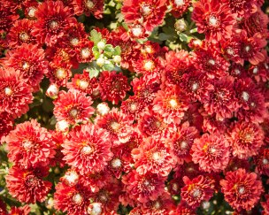 Looking down on a container of sunny red mums.
