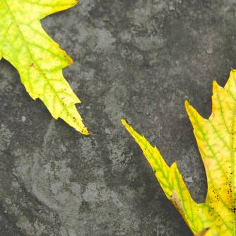 Underfoot, yellow Maple leaves