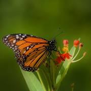 Wilson Park Monarch