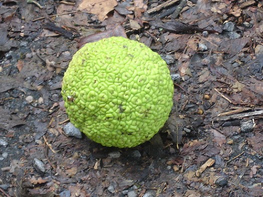 Close-up, Osage Orange, Fort Cobun, Grand Gulf MS