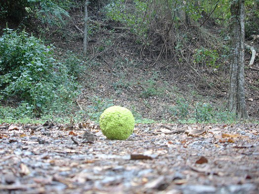 Osage Orange at Fort Cobun, Grand Gulf MS
