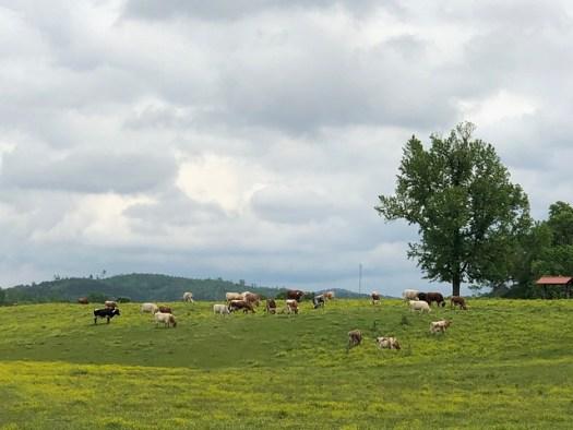 Pursell Farms Longhorns, Sylacauga AL