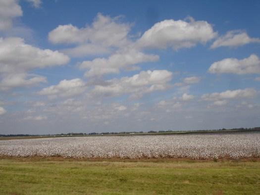 cotton fields in Louisiana