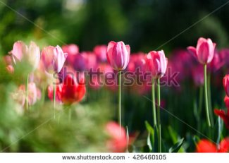 stock-photo-amazing-nature-of-pink-tulips-under-sunlight-at-the-middle-of-summer-or-spring-day-landscape-426460105