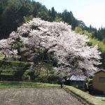 矢野愛宕様の桜