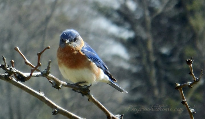 Bluebird & Christian Parenting: Surviving Against the Odds, adult male bluebird in locust tree, guarding the birdhouse,