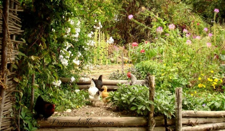 Potager Garden Style: Combining Edible & Flowering Plants In the French Tradition, garden planning, germinate, New England shake siding, ideas, homestead, farm, sustainable, seeds, 4x8 boxes, herbs, flowers, annuals, perrenials, growing edibles, ornamentals, balconies, patios, porches, rooftops, kitchen beds of England, compositions of French, Smithsonian Garden education specialist, Cynthia Brown, rot-resistant cedar, aesthetic design, layout, plot, landscape, quotes, botanist, zinnia, nasturtiums, raised beds, trellises, espalier, lettuces, herbs, formal or rustic design, Monet, Matthew 19: 23, plan, DIY, homemaking, keeper at home, close to kitchen, chickens running, free range, hens in the garden