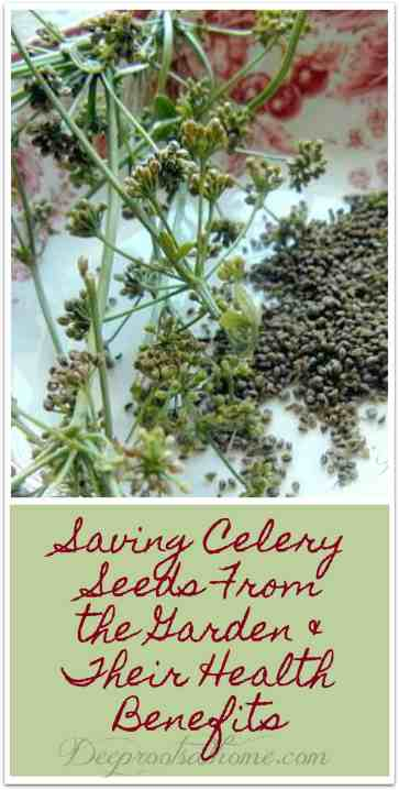 Saving Celery Seeds From the Garden & Their Health Benefits, regrowing celery, saving celery seed, celery flowers, health benefits, cool weather plant, bog plant, cuttings from celery, garden DIY, frugal living, healthy living, lowering blood pressure, aid flow of breast milk, freshen breath, bog plants, seed savers, gardening