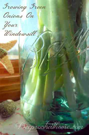 Growing Green Onions On Your Windowsill, roots, solution, potager, kitchen, cooking, chef, regrowing, economical, frugal, save money, composting, bunching onions, spring onions, scallions, regrowing from cuttings, store-bought onions, starts, gardening, green thumb, storing food, homemaking, DIY, make your own, sustainable, healthy living, natural, greenhouse, winter food stores,
