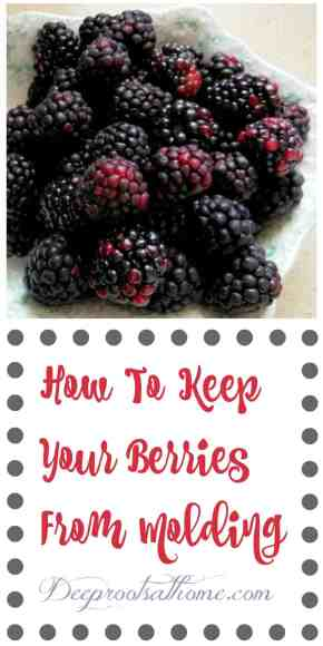 How To Keep Those Healthy Berries From Molding, blackberries, raspberries, mulberries, strawberries, vinegar bath, storing food tips, kitchen tip, harvesting mullein, elderberry tincture, white vinegar, apple cider vinegar, make jam, baked goods, eating fresh, health benefits, antioxidants, farmer's market, slowed memory loss, weight loss, good for the brain, good for eyes, slow the aging process, old-fashioned, vinegar kills mold,