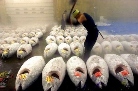 https://i0.wp.com/deepseanews.com/wp-content/uploads/2012/03/bluefin-tuna1.jpg