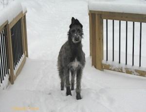 Photo of Deerhound taken by Susan Trow
