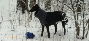 Deerhound photo by Christie Keith