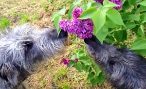 Photo of Deerhounds smelling lilacs by Adam Biro