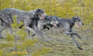 Photo of Deerhounds Pyefleet Tabor, Sandmanscot's Te Bheag, and Sandmanscot's Tulach by Pekka Winter
