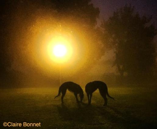 Photo of Deerhounds by Claire Bonnet.