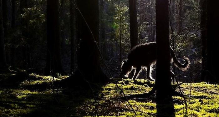 Photo by Pekka Winter of a Deerhound.