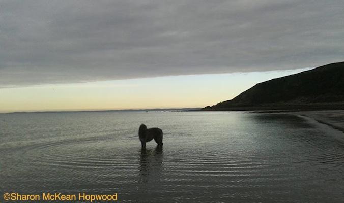 Photo of Deerhound in Luce Bay, Scotland by Sharon McKean Hopwood.