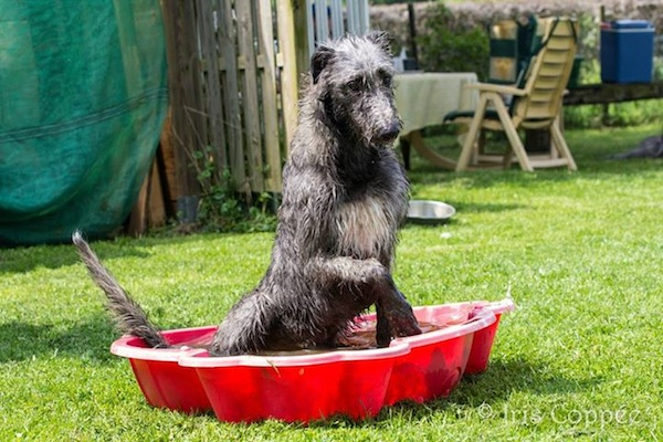 Photo of Deerhound by Iris Coppée