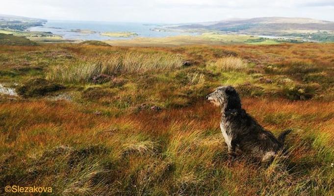 Photo of Deerhound Matylda on the Isle of Skye by Barbara Slezakova.