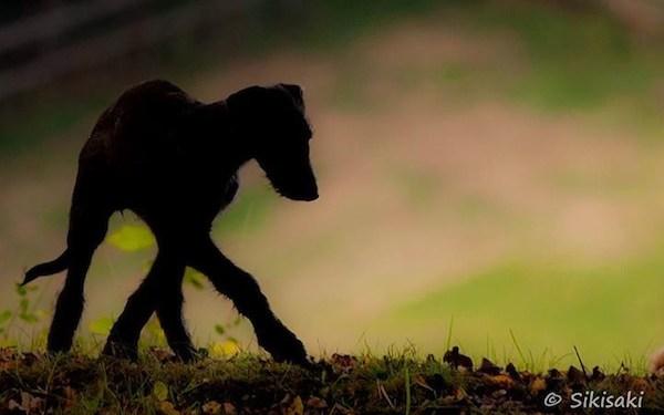 Photo of Deerhound puppy by Sikisaki