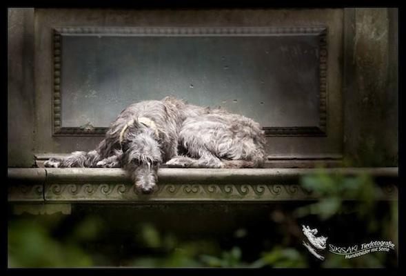 Photo of Deerhound by Sikisaki