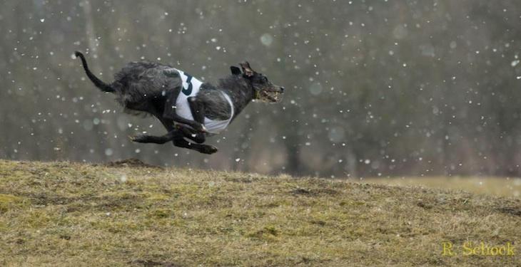 Deerhound Neck Survey