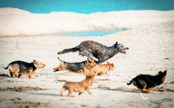 New Article on Osteosarcoma Inheritance in Deerhounds