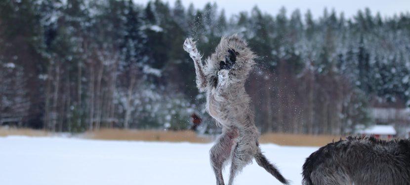 New Deerhound Health Web Site!