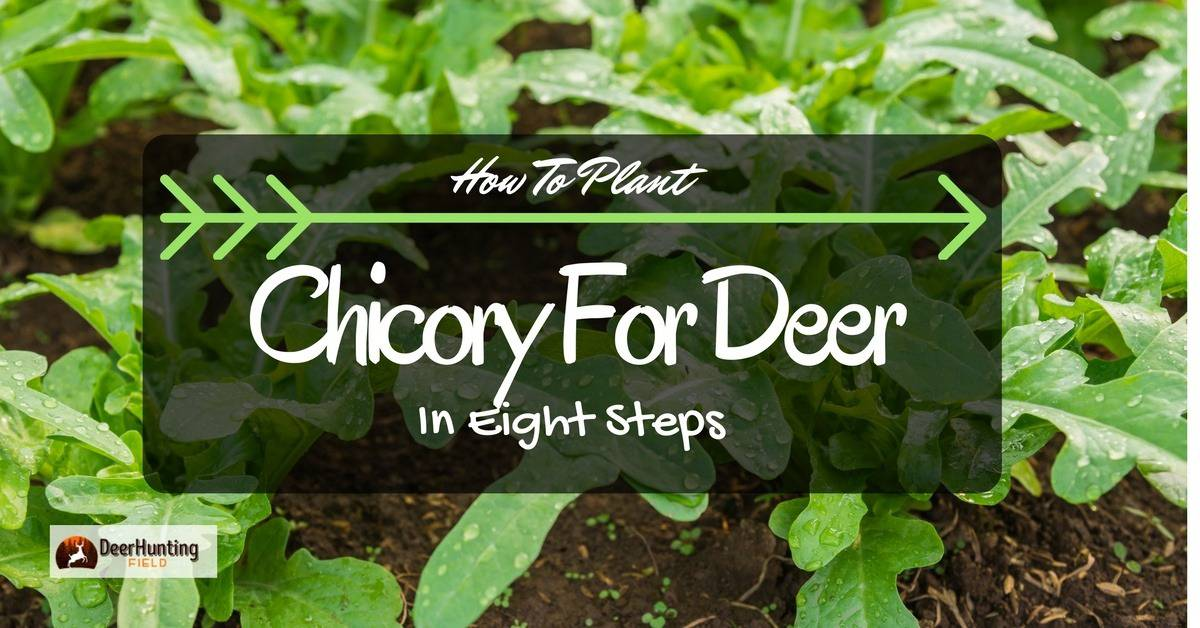 Chicory for deer