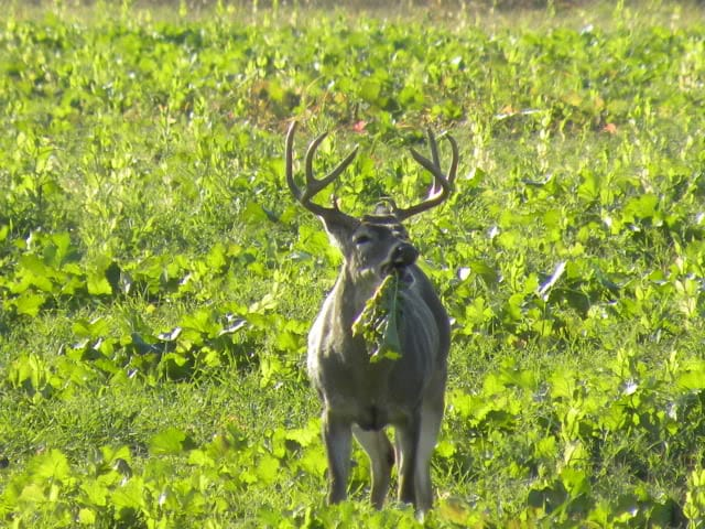 when to plant turnips and radishes for deer
