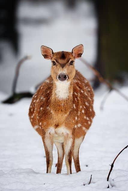 deer-pregnant