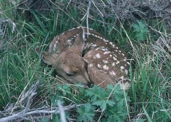 fawns-life