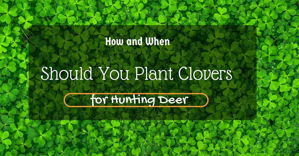 when-to-plant-clover