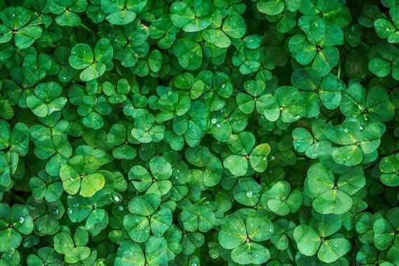 when-to-grow-clover