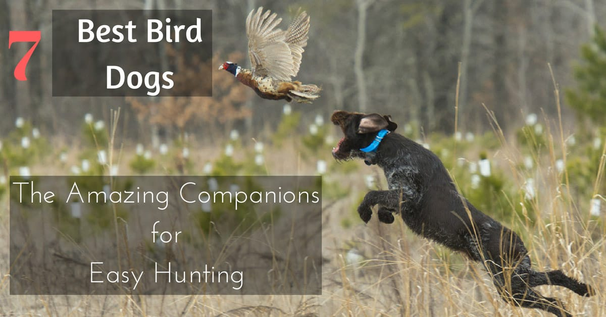 Best Bird Dogs